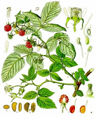 Rubus Idaeus (Raspberry Leaves)